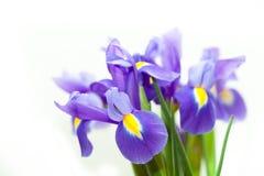 紫罗兰色黄色虹膜blueflag花 库存图片