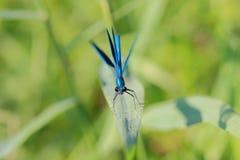 紫罗兰色蜻蜓在夏日 免版税库存照片