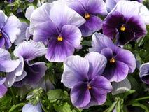 紫罗兰色蝴蝶花 免版税库存图片