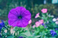 紫罗兰色 免版税库存图片