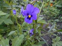 紫罗兰色 库存照片