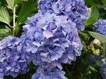 紫罗兰色ajisai 库存照片