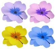 紫罗兰花被设置的黄色蓝色桃红色紫罗兰 白色与裁减路线的被隔绝的背景 特写镜头 没有影子 对设计 库存图片