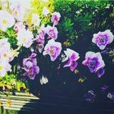 紫罗兰 图库摄影