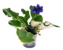 紫罗兰blssom 库存图片