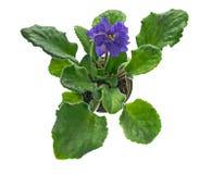 紫罗兰blssom 免版税图库摄影
