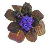 紫罗兰blssom 免版税库存照片