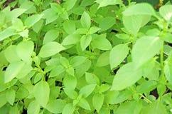 罗勒属,蓬蒿 在庭院里增长的蓬蒿 库存图片