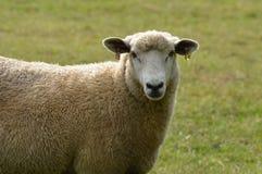 罗姆尼母羊 库存照片