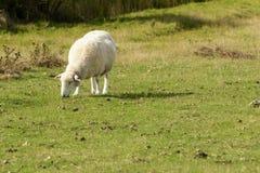 罗姆尼沼泽绵羊06 免版税库存照片