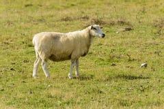 罗姆尼沼泽绵羊09 库存图片