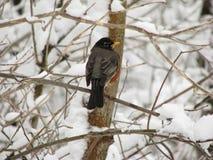 罗宾在多雪的分支栖息 免版税库存图片
