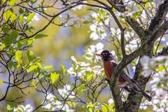 罗宾在开花的山茱萸树栖息 库存图片