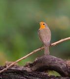 罗宾在枝杈栖息 库存照片