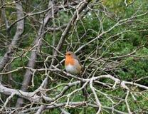 罗宾在树,一个公园,斯旺西栖息 库存照片