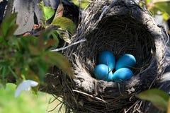 罗宾在樱桃树水平的取向的鸟巢 免版税库存图片