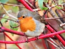 罗宾在秋天森林里 免版税库存照片