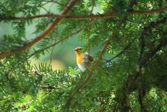 罗宾通过杉树 免版税图库摄影