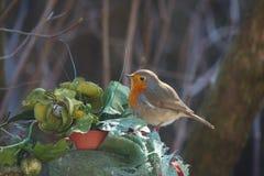 罗宾鸟画眉rubecula 库存图片