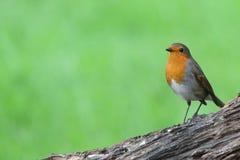 罗宾鸟 免版税库存照片