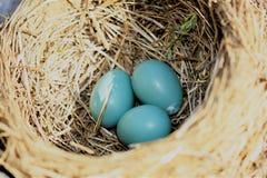 罗宾鸡蛋 免版税库存照片