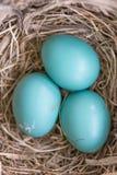 罗宾鸡蛋 免版税库存图片