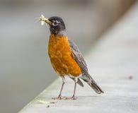 罗宾,鸟 免版税库存照片