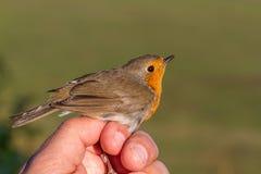罗宾,画眉rubecula,鸟在鸟条带的一只妇女手上 免版税库存图片