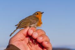 罗宾,画眉rubecula,鸟在鸟条带的一只妇女手上 库存图片