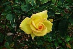 罗斯、一朵美丽的花、房子花和庭院装饰 免版税图库摄影