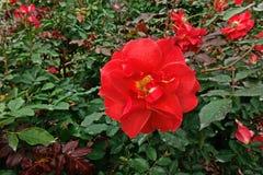 罗斯、一朵美丽的花、房子花和庭院装饰 免版税库存照片