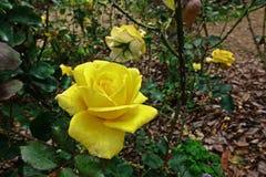 罗斯、一朵美丽的花、房子花和庭院装饰 库存照片