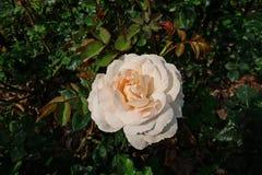罗斯、一朵美丽的花、房子花和庭院装饰 免版税库存图片