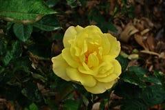 罗斯、一朵美丽的花、房子花和庭院装饰 图库摄影