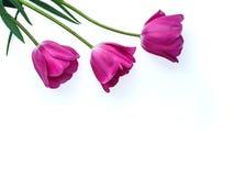 罗斯发芽在白色背景隔绝的郁金香花 演播室射击、模板为母亲` s天, 3月8日和其他问候 免版税库存图片