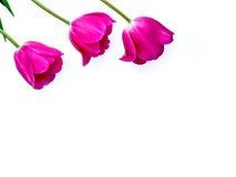 罗斯发芽在白色背景隔绝的郁金香花 演播室射击、模板为母亲` s天, 3月8日和其他问候 免版税库存照片
