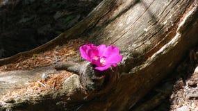 罗斯和树干 免版税图库摄影