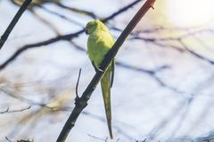 罗斯圈状或圆环收缩的长尾小鹦鹉Psittacula krameri鸟,栖息在森林里,冬天季节 免版税库存照片