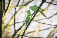 罗斯圈状或圆环收缩的长尾小鹦鹉Psittacula krameri鸟,栖息在森林里,冬天季节 免版税库存图片