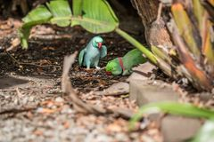罗斯圈状的长尾小鹦鹉和圆环收缩的长尾小鹦鹉 库存照片