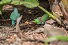 罗斯圈状的长尾小鹦鹉和圆环收缩的长尾小鹦鹉 库存图片