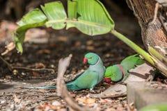 罗斯圈状的长尾小鹦鹉和圆环收缩的长尾小鹦鹉 免版税图库摄影