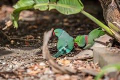 罗斯圈状的长尾小鹦鹉和圆环收缩的长尾小鹦鹉 免版税库存照片