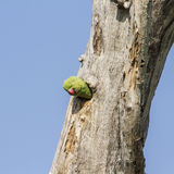罗斯圈状的长尾小鹦鹉在Arugam海湾盐水湖,斯里兰卡 库存照片