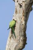 罗斯圈状的长尾小鹦鹉在Arugam海湾盐水湖,斯里兰卡 免版税库存图片