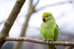 罗斯圈状的长尾小鹦鹉特写镜头在海德公园 库存图片