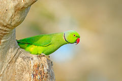 罗斯圈状的长尾小鹦鹉, Psittacula krameri,美丽的鹦鹉在自然绿色森林栖所,斯里兰卡,亚洲 鹦鹉,野生生物s 库存照片