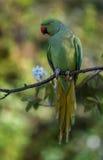 罗斯圈状的长尾小鹦鹉 图库摄影