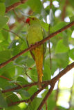 罗斯圈状的长尾小鹦鹉 库存照片