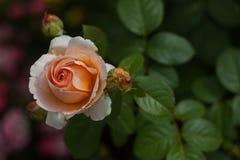 罗斯在自然本底的庭院夏天 库存照片